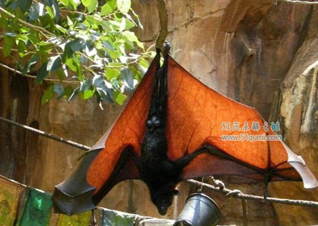 全球最大的蝙蝠,胆子小只吃水果,网友:这不是小黑狗吗?