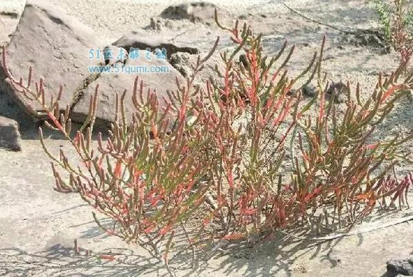 【植物之最】世界上最耐盐的植物----盐角草