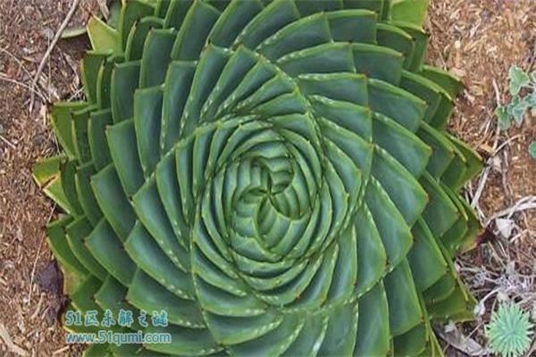 世界上最为精美的植物之一-芦荟
